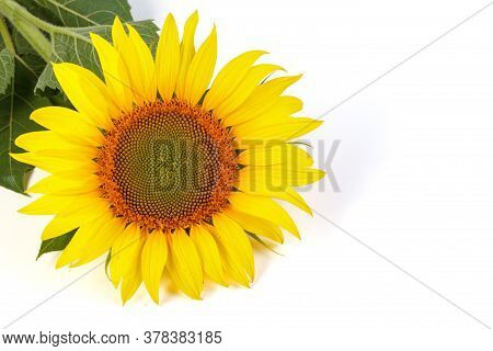 Sunflower Isolated On White Background. Natural Background. Sunflower Blooming. Close Up Of Sunflowe