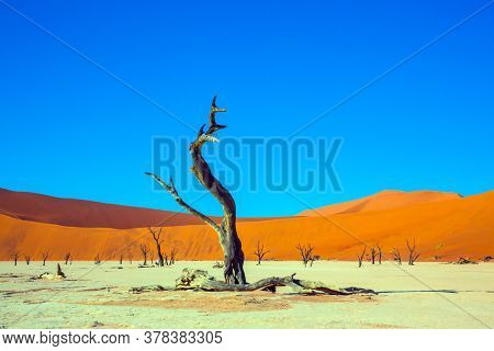 Yellow-red dunes and ringing silence. Dead lake with dead trees. Clay plateau in the part of the Namib Sossusvlei desert. Sunny morning. The concept of active, exotic, extreme and photo tourism