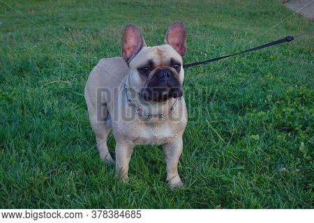 Dog Breed French Bulldog Of Light Color Walks In The Forest On A Green Lawn. French Bulldog On Green