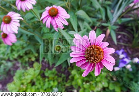 Flowers With Pink Petals In A Garden In Summer