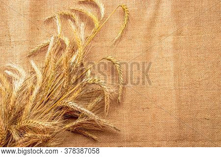 Barley Macro. Whole, Barley, Harvest Wheat Sprouts. Wheat Grain Ear Or Rye Spike Plant On Linen Text