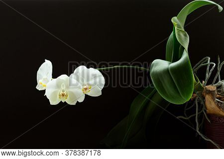 White Phalaenopsis Flowers On Branch With Leafs On Black Background.