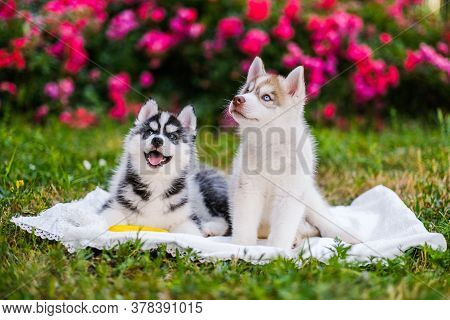 Happy Siberian Husky Puppies Posing Outside. Super Cute Puppies Are Posing.
