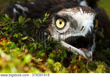 Portrait Of An Eagle With An Open Beak, In The Wild, On A Natural Background.