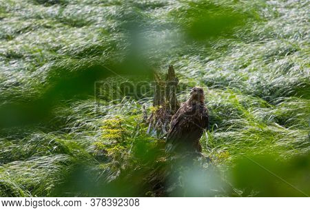 american bald eagle in grass