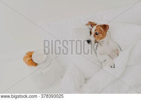 Hungry Jack Russel Terrier Looks With Appetite At Delicious Croissant And Coffee, Stays In Bed Under