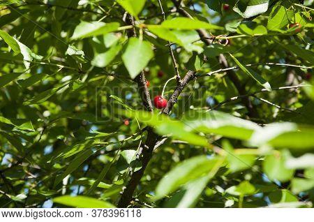 Red Cherry Berry On Tree. Sweet Cherry Fruit. Ripe Fresh Cherries. Ripe Cherries Hanging From A Cher