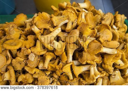Fresh Chanterelle Mushrooms. Group Of Fresh Chanterelles On The Wooden Background. Viewed From Above