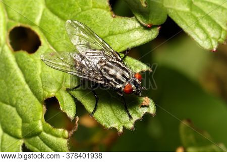Flesh Fly Resting On Edge On Leaf