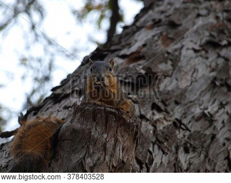 A Squirrel Sits On A Stump That Was Left On A Tree Trunk After Needing To Be Removed. The Squirrel U
