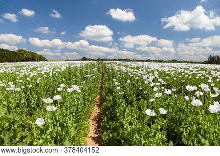 Detail Of Flowering Opium Poppy In Latin Papaver Somniferum With Pathway, Poppy Field, White Colored