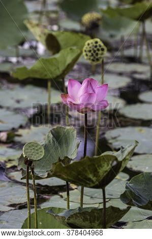 Lotus Blossoming In The Natural Pool. The Lotus Flower Is Regarded As The Queen Of Flowering Plants