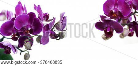 Purple orchid Phalaenopsis on a white background. Purple flowers