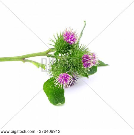Flowers Of Burdock Isolated On A White Background. Burdock With Flowers And Leaves Isolated. Branch