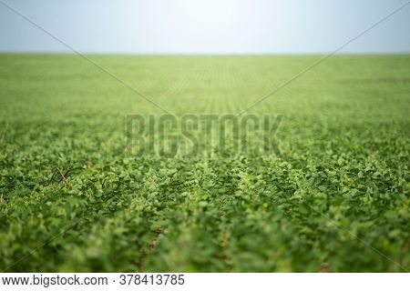 Soy Crop Field Row Close Up Shallow Focus On Plants And A Blue Sky Background