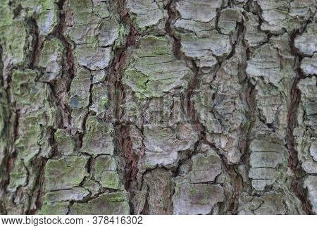 Old Pine Tree Bark, Background, Wood Texture.