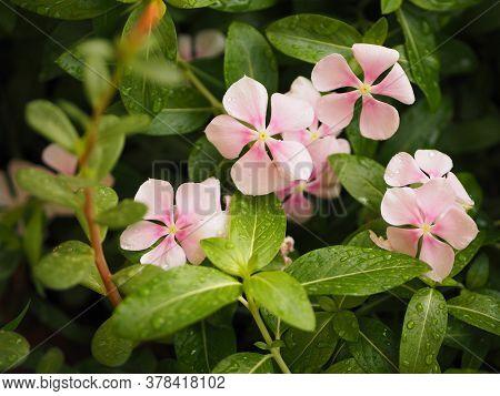 Drop Rain On Pink Color Flower Cayenne Jasmine ,periwinkle, Catharanthus Rosea, Madagascar Periwinkl