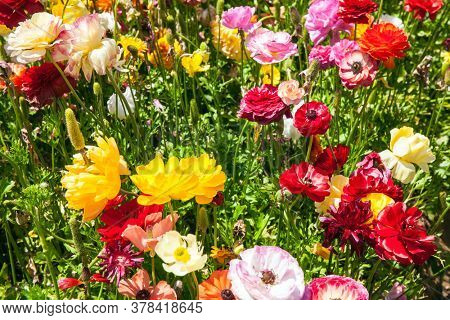 The field of luxurious large spring buttercups. Israel. Beautiful sunny spring day. The southern border of Israel, a kibbutz field. Gorgeous multicolor floral carpet.