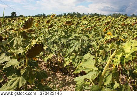 Green Field Of Faded Sunflowers Turned From The Opposite Side In Tuscany