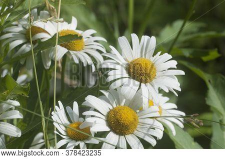 Ox-eye Daisy Flowers In A Meadow, Closeup