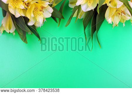 Blooming Freesia Isolated On Green Background. House Flowers And Plants. Postcard. Copy Space. Place
