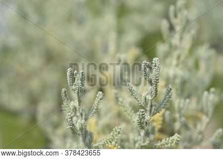 Cypress Lavender Cotton Leaves - Latin Name - Santolina Chamaecyparissus