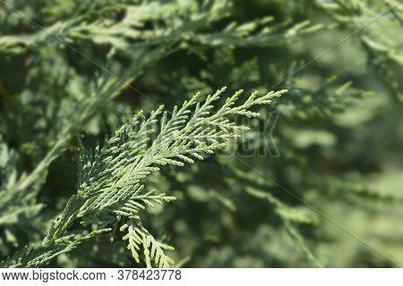 Leyland Cypress - Latin Name - Cuprocyparis Leylandii