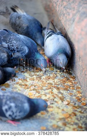 Pigeons Peck Bread Crumbs Among Coins, Wedding Traditions