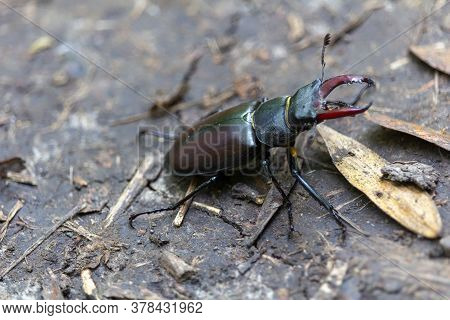 Large Stag Beetle From Side On Earth, Nature Reserve Palava, Czech Republic