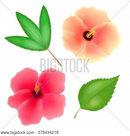 Sudan Rose Flower Isolated On White Background. Roselle Or Sabdariffa Hibiscus With Leaves. Realisti