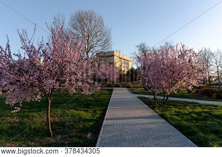 City Alley With Flowering Trees. Decorative Pissardi Plum. Pink Blooming Tree On The Background Of B