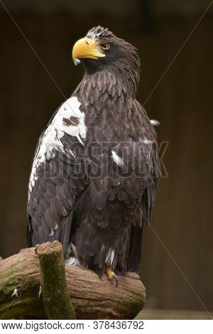 Steller's Sea Eagle (haliaeetus Pelagicus) On Branch