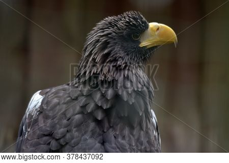 Portrait Of Steller's Sea Eagle, Haliaeetus Pelagicus, Which Belongs To The Largest Eagles