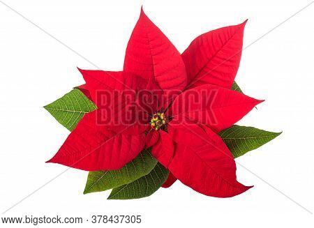Poinsettia Flower  Isolated On A White Background