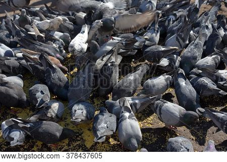 Pigeons On The Sidewalk Peck Millet