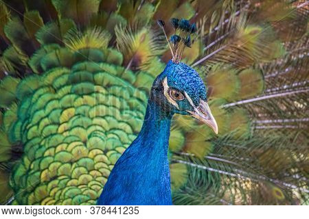 Close View On Head Of Peacock Bird With Beautiful Green Tail.