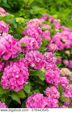 Hydrangea Blossom On Sunny Day. Flowering Hortensia Plant. Pink Hydrangea Macrophylla Blooming In Sp