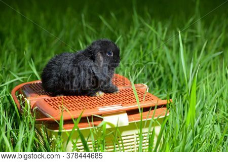 The Young Female Black Miniature Lop Is Sitting On The Orange Animal Carrier In The Grass.