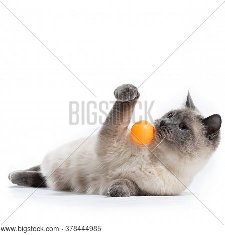 A Thai Cat Lies And Plays With An Orange Ball With Its Front Paws