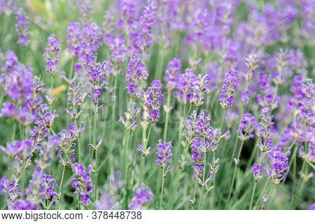 Lavender Bushes Flower Field Background. Harvesting Of Lavender Flowers In Lavender Fields In Proven