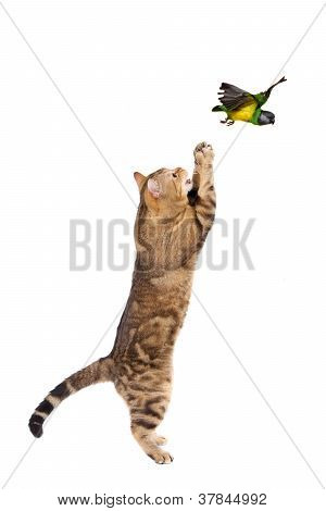 Adult cat catching bird, isolated on white poster
