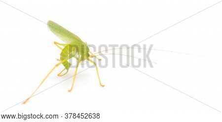 Grasshopper In Front Of White Background Macro
