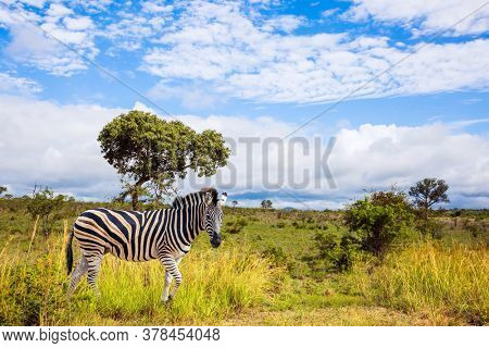 The famous Kruger Park. Burchella Zebra - flat zebra lives in southern Africa. The zebra graze in the green bushes. Exotic journey to the Africa. The concept of ecological and photo tourism