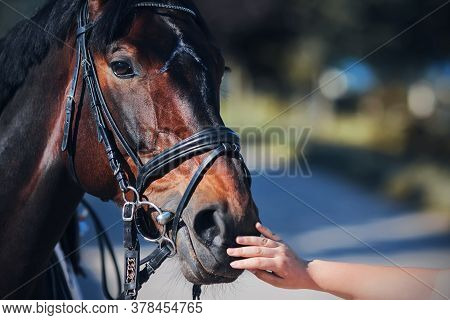A Woman's Hand Gently Stroking The Muzzle Of A Bay Sports Horse With A Bridle On Its Muzzle On A Sun