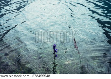 Small Violet Flower Of Larkspur Grows In Clear Water Of Mountain Lake Close-up. Vegetation In Purple