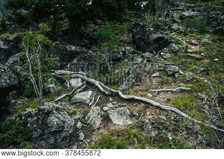 Root Trail Among Rocks For Mountain Hiking Close-up. Footpath For Trekking Among Tree Roots And Ston