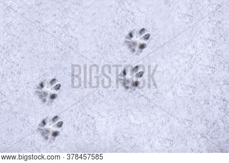Interesting Abstract White Background With Footprints Of A Cat Or Dog Paws On The Snow. Care For Pet