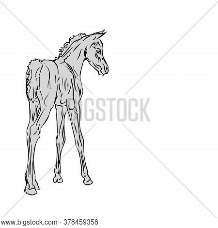 Isolated Monochrome Drawn Image Of An Arabian Horse Foal On A White Background.