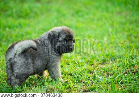Portrait Of Young Illyrian Shepherd Dog Puppy (sarplaninac, Yugoslavian Shepherd, Shepherd From The