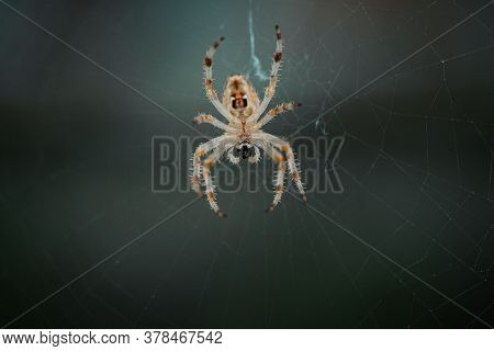 European Garden Spider (cross Spider, Araneus Diadematus) Sitting In A Spider Web, Close Up Macro Sh